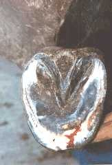 Treat a Horse Hoof Abscess
