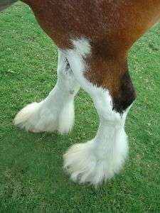 Lower leg of clydesdale horse