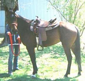 standardbred adoption horse