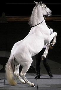 Lipizzaner Horse Breed