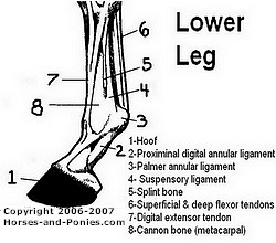 lower leg of horse