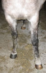 Swollen Lower Leg on Arabian Mare