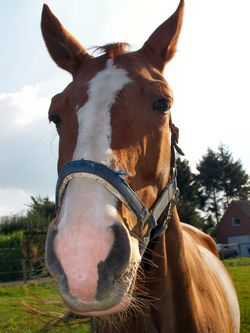 horse face and muzzle
