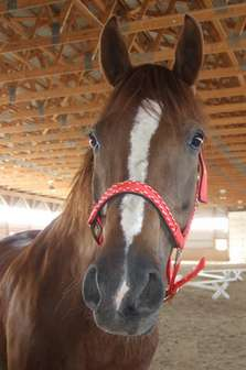 Arab horse wearing new halter