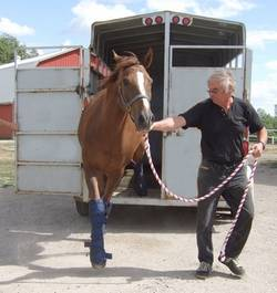 Horse coming off trailer