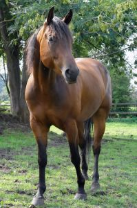 Quarter Horse Breed